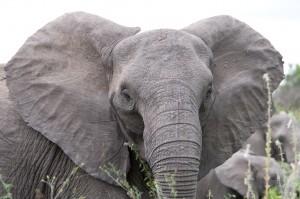 Angry_elephant_ears (1)